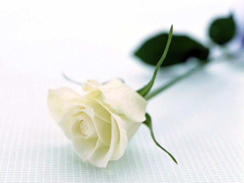 Белая роза - лучший подарок, когда нет идей, что подарить