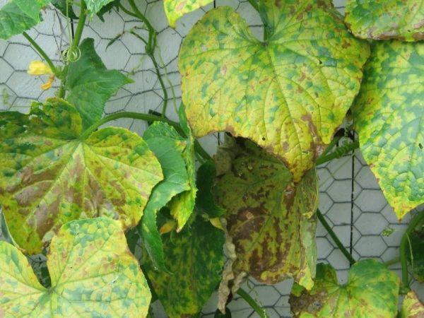 Что такое болезнь ржавчины на растениях