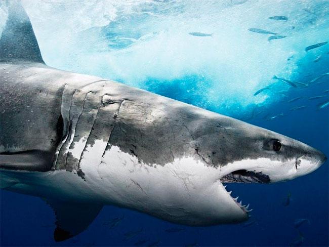 Акулы в приморье третье нападение