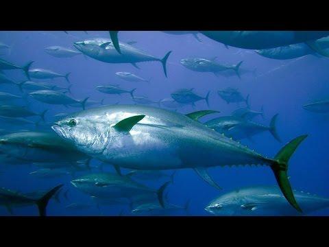 Сезон охоты на тунца