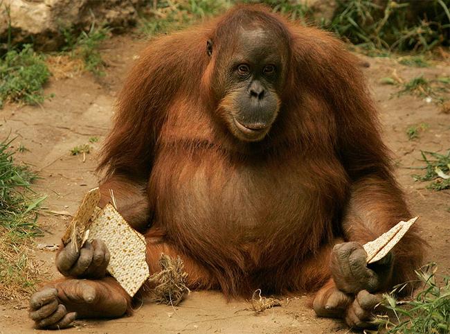 Орангутаны - самые
