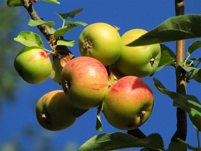 Яблоки спасут от рака